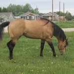 Quarter Horse - Buckskin Stallion - Real Quincy Gold